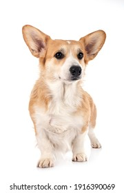 young Pembroke Welsh Corgi in front of white background