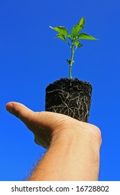 A young pepper plant being held in the palm of the hand showing its roots visible through its growing medium, set against a bright clear blue sky.