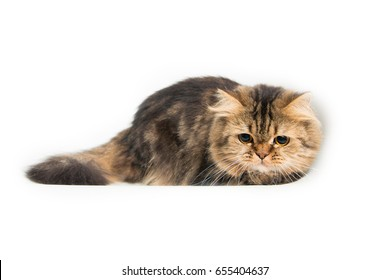 Young persian cat in front of a white background