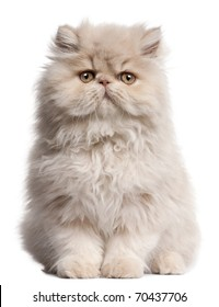 Young Persian cat sitting in front of white background