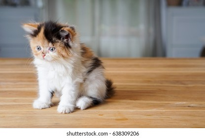 young Persian cat sitting on wooden desk