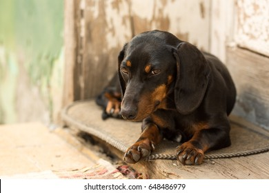 Young pet dog black dachshund in front of the old wooden doors