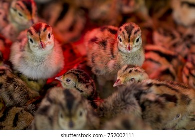 Young Pheasant chicks under an infra red lamp keeping warm