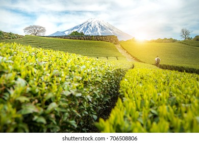 A young photographer with backpack holding tripod walking alone on Japanese tea field facing to Mt.Fuji with sunrise/sunset and cloudy sky background.