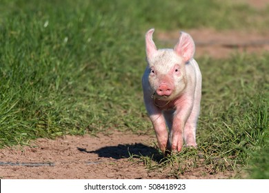 Young pig in free-range