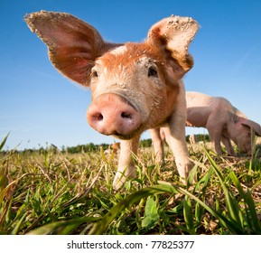 Young pig on a pig farm in Dalarna, Sweden