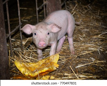 Young pig on a farm eats a pumpkin.