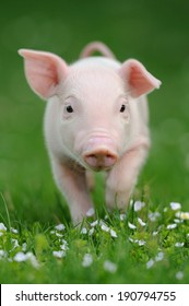Young pig on a spring green grass