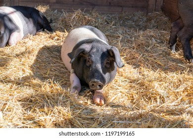 Young pig on straw