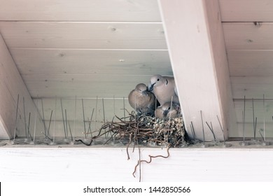 Young pigeon birds and mother are sitting in a bird nest