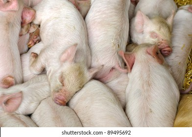 Young piglets sleeping together in a pile to keep warm