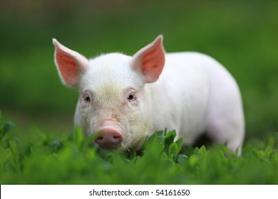Young pigling on a green grass.