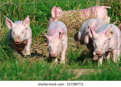 Young pigs in free-range