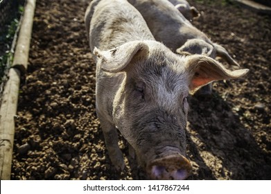 Young pigs on a farm, meat industry detail