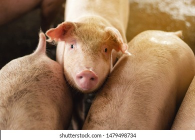 Young pigs on farms pig. Pigs portrait indoor.