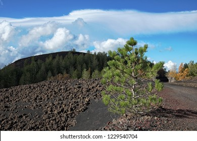 young pine colonize volcanic ashes in Etna Park, Sicily