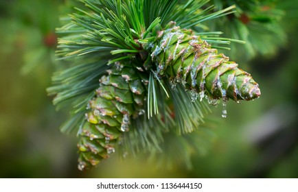 Young pine cones, with drops of resin on the surface. Macro photography