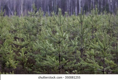 young pine forest, seedlings, small trees