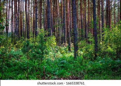 Young pine forest in the summer. Selective soft focus