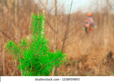 Young pine tree close-up. Forester in the background with a trimmer. Care of forest stands. Forestry and afforestation.