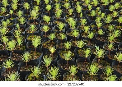 Young pine tree seedling.