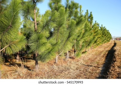 Young pine trees growing in a straight line along a main road in Georgia.