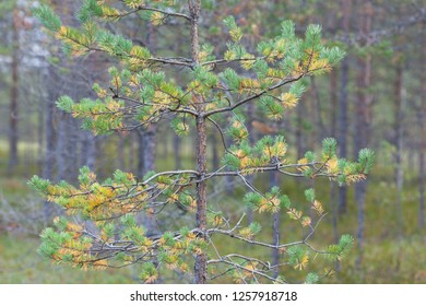 Young pine with yellowed needles