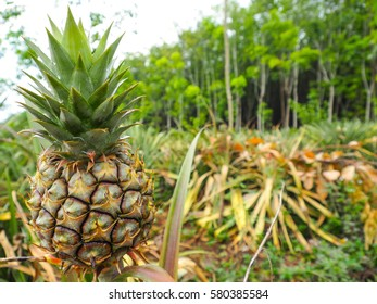 A young pineapple on a farm, tropical fruit growing in a field with green tree background