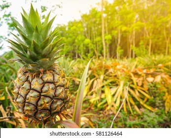 A young pineapple on a farm, tropical fruit growing in a field with green tree and gold light background.