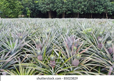 Young pineapples in the field in front of the rubber trees field