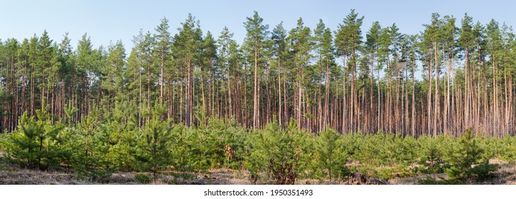 Young pines growing on a plantation at the old cutting site in the forest against of background of the old trees, panoramic view