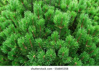 Young pines, needles, firs texture, fir tree background, forest wallpaper
