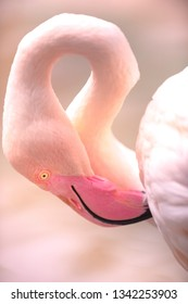 Young Pink Flamingo Bird close-up shallow depth of field with focus on bird's eye