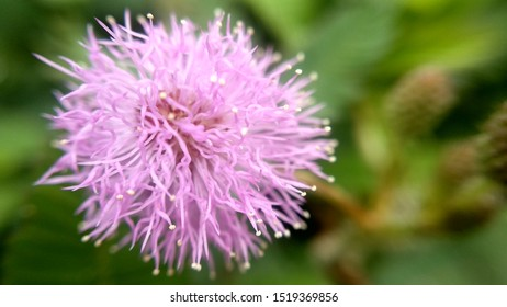 Young pink thorn flower in tropics forest blown beautifully which is amazing and beautiful to see captured in macro and focus