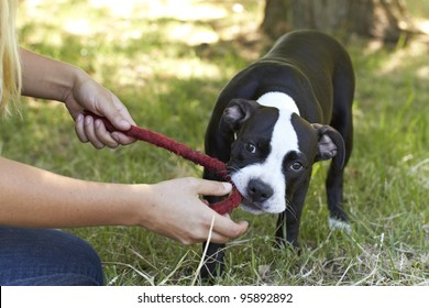 Young Pit Bull puppy biting red play rope