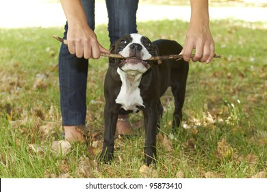 Young Pit bull puppy chewing stick