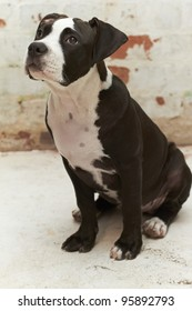 Young Pit Bull puppy looking up