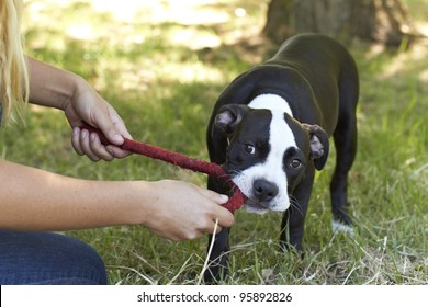 Young Pit Bull puppy tugging a red play rope