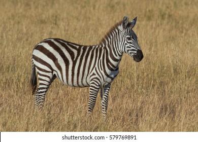 Young plains zebra, Serengeti National Park, Tanzania, East Africa.