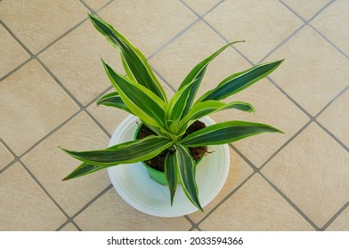 """A young plant of Dracaena fragrans, var. """"Lemon lime"""" (Fam. Agavaceae), photographed in a pot in Rome, Italy"""
