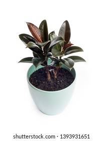 Young plant of Ficus Melany - one of the varieties of Ficus elastica. Ficus Melany in turquoise flower pot isolated on white background