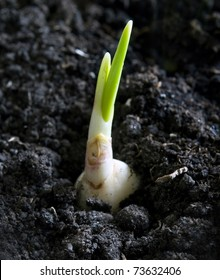 young plant of garlic in soil