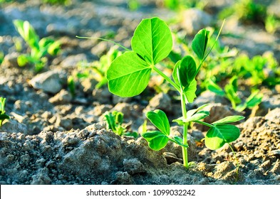 A young plant of green, vegetable peas. A young plant of green peas in the garden of early spring, a copy of the space. A young vegetable pea plant on the soil, Pisum sativum.