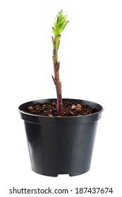 The young plant grows from a fertile soil is isolated on a white background