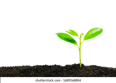 Young plant growth from the forest or seedling that is growing from the soil, with copy space on the left on white background with clipping path.