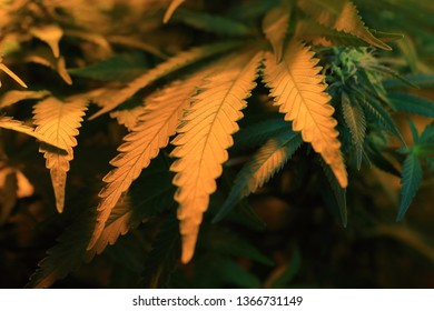 young plant and leaves of cannabis