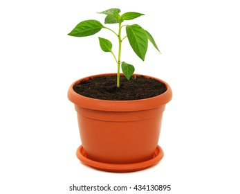 Young plant of pepper in a pot