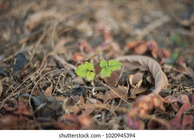 Young plant , sapling, sprout green leaf within the jungle wood around has dry red leaf