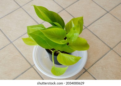 """A young plant of Scindapsus """"Neon"""" (Epipremnum pinnatum Golden Pothos), Fam. Araceae, photographed in a pot in Rome, Italy"""
