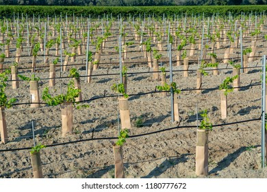 Young plants of French red and rose wins grapes plantation in France on domain or chateau vineyard close up in sunny day